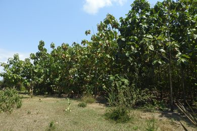 Kipumbwi – Teak Farm – South of Pangani
