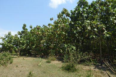 Kipumbwi – Teak Farm – South of Pangani